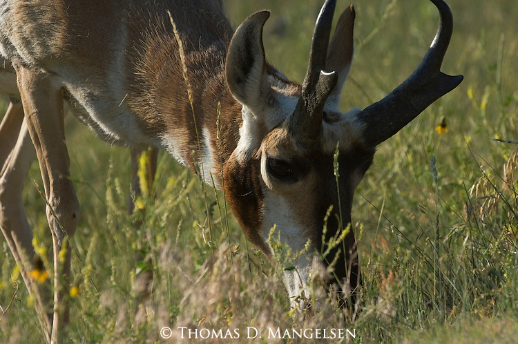 Portrait of grazing pronghorn antelope in South Dakota.