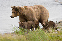 Brown bear sow with two spring cubs along the shore of Brooks River, Katmai National Park, Alaska.