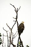 USA, Alaska, bald eagle perching on bare tree branch, Redoubt Bay