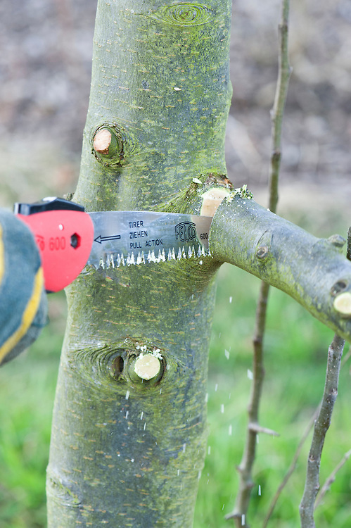 Prune heavy branches with a series of cuts to prevent the wood from tearing. Step 4 of 4. Cut away the branch stump from the top, sawing just beyond the collar, where the branch meets the trunk.