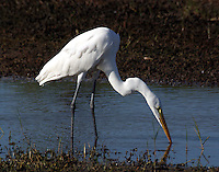 Great egret adult non-breeding fishing