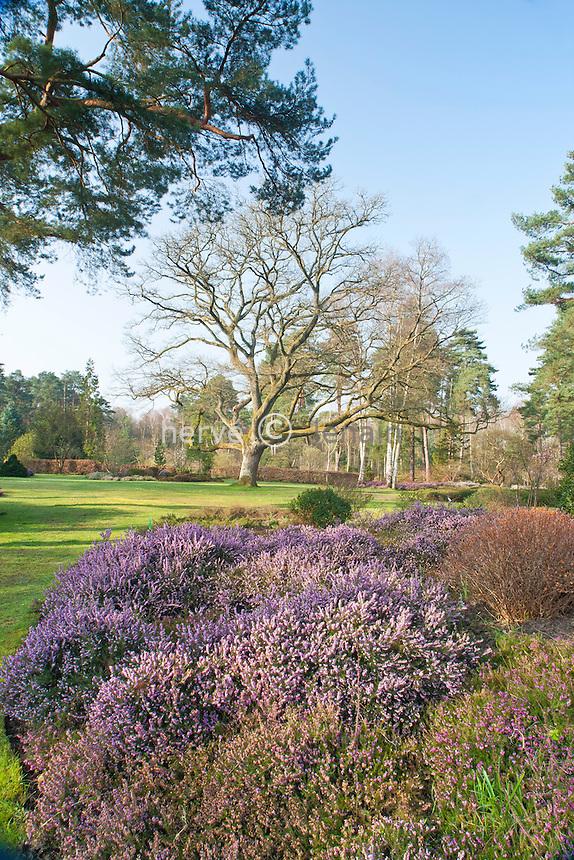 Arboretum des Grandes Bruyères (mi-mars) : tapis de bruyère et chêne majestueux // Arboretum des Grandes Bruyères (in the middle of March): heather and majestic oak.