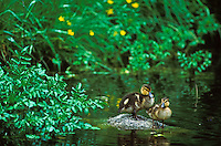 Mallard ducklings resting on rock, Washington