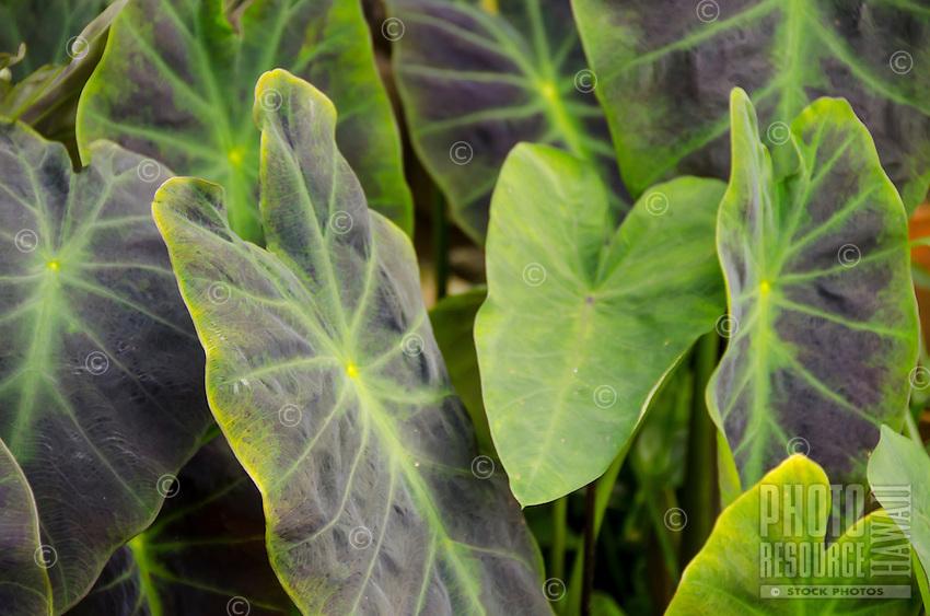 Taro (kalo) leaves, Hamakua, Big Island.