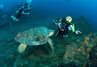 loggerhead sea turtle, Caretta caretta, and scuba diver, Stetson Bank, Texas. Gulf of Mexico, Atlantic Ocean