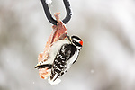 Male downy woodpecker feeding on some white-tailed deer meat and fat.