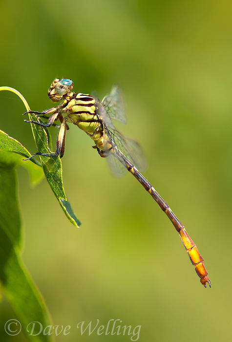 334090016 a wild female russet-tipped clubtail stylurus plagiatus perches on a dead stick in the lower rio grande valley of south texas