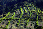 Coffee farm pattern of trees that shade the coffee plants on the slopes of the Santa Ana Volcano in western El Salvador.  (Property Released)