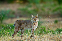 Found this Bobcat on a remote ranch with very little traffic. He/She wasn't the least bit fearful and walked slowly into my line of sight. Appears to be a young Bobcat and, since this was in the middle of the Texas drought, also appears to be thin.