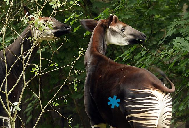 Zoo Leipzig - Okapi / Zwerggiraffe - Probleme bei der Nachzucht - die beiden Leipziger Okapis wollen sich nicht so recht paaren.  Foto: Norman Rembarz