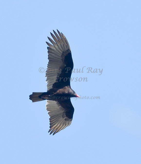 Turkey Vulture flyover
