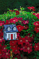 Blooming red clematis on wall beside fancy painted birdhouse in garden, USA