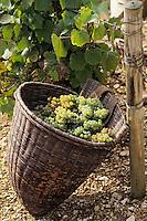 Europe/France/89/Yonne/AOC Chablis: Les vendanges de Jean Durup à Maligny - Grappes de Chardonnay