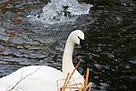 SWAN; tundra swan