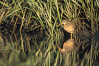 Clapper Rail, basking in the morning sun, along tidal salt marsh. Moores Beach, New Jersey