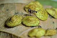 Sluipwesp parasiterend op Gewone lensgal (Neuroterus quercusbaccarum)
