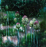Allium flowers come in many sizes and color variations. Alliums offer a vertical relief in the garden when displayed against horizontal growing plants. What a burst of color. Ice cream on a stick!<br />
