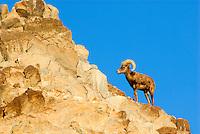 Desert Bighorn Sheep (Ovis canadensis nelsoni) ram..