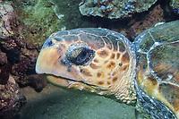 Loggerhead Turtle, Caretta caretta, Mackerel Islands, Western Australia, Indian Ocean