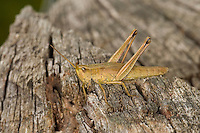 Große Goldschrecke, Weibchen, Chrysochraon dispar, large gold grasshopper
