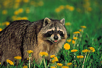 RACCOON walking through dandelion meadow.Spring. North America..(Procyon lotor).