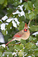 01530-21407 Northern Cardinal (Cardinalis cardinalis) female in American Holly (Ilex opaca) in winter Marion Co. IL