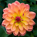Dahlia 'Pam Howden', early September.