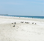 Shore birds resting on Pensacola Beach