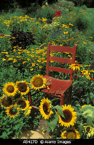 A5417D Red painted chair in flower garden with sunflowers United States of America USA