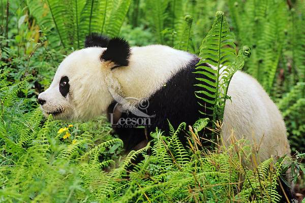 Giant Panda (Ailuropoda melanoleuca) walking among ferns in bamboo forest of central China.