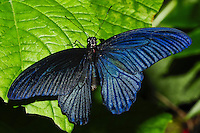 Great Mormon, Papilio memnon