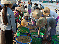 Women from the fishing village of Jade Taw on the Bay of Bengal in Myanmar wearing the conical bamboo hats which are typical of the country as a whole sort through the early morning catch which has just been brought up to the beach from the boats.