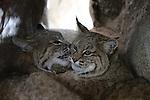 Bobcats grooming in den