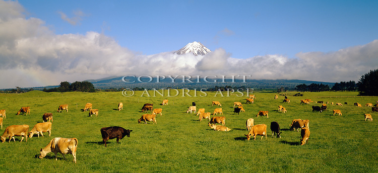 Jersey cows (dairy) grazing in green fields near Mount Taranaki (Egmont). Taranaki Region. New Zealand.