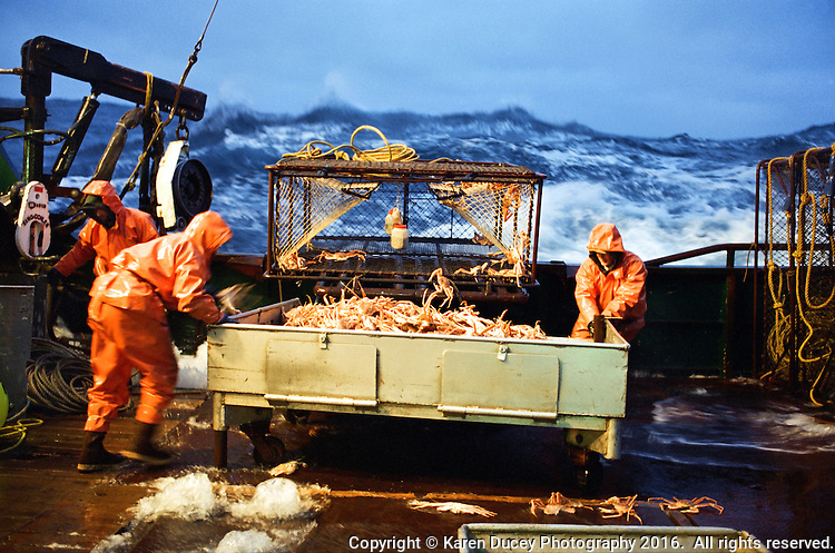 "Crewmen shove a sorting table full of freshly caught opilio crab in January 1995 bonbaord the Polar Lady during opilio crab season in the Bering Sea. Juveniles are tossed back into the sea. The fishery is managed by the Department of Fish and Game. Crab fishing in the Bering Sea is considered to be one of the most dangerous jobs in the world.  This fishery is managed by the Alaska Department of Fish and Game and is a sustainable fishery.  The Discovery Channel produced a TV series called ""The Deadliest Catch"" which popularized this fishery. Today this fishery, largely based out of Dutch Harbor, AK has been consolidated resulting in a lot less boats fishing."