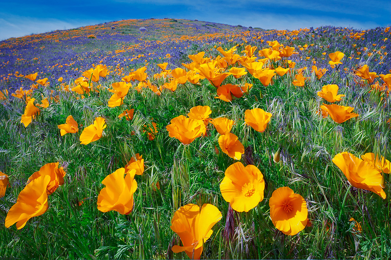 California poppies (Eshscholtzia californica). Antelope Valley Poppy Preserve, California