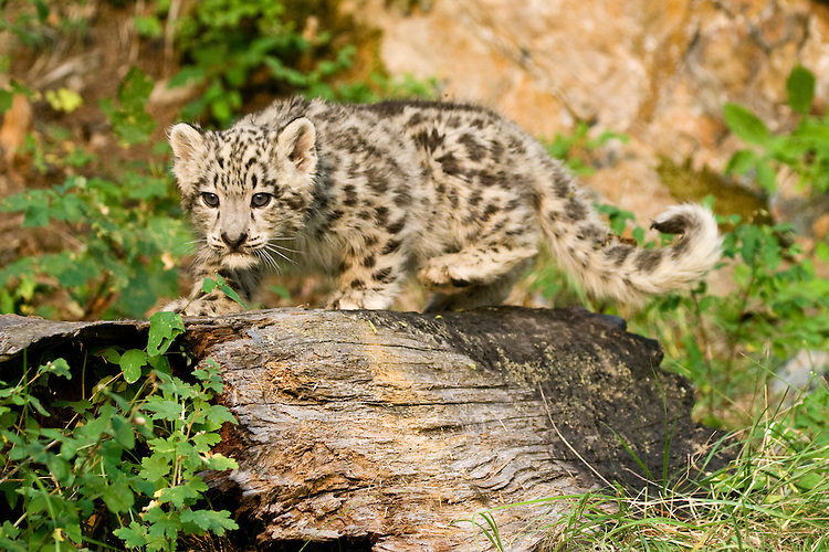 Snow Leopard kitten walking along an old log - CA