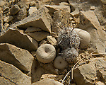 Several very small cactus including button cactus found on the desert floor among rocks in the Big Bend area of Texas