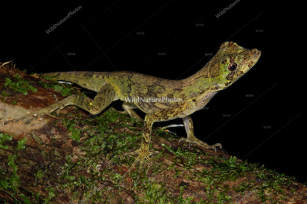 A Blunt-nosed Anole, Norops capito, at night in the rainforest; Corcovado, Costa Rica