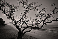 Silhouted dead tree. Hookaipa Beach. Maui, Hawaii