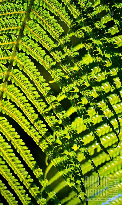 Morning sunlight seen through native hapu'u fern fronds in a rainforest, Volcano, Big Island.