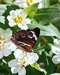 Beautiful Common Buckeye sipping from a white flower showing the markings of this butterfly that are anything but common. It is against a background of white flowers and green leaves.