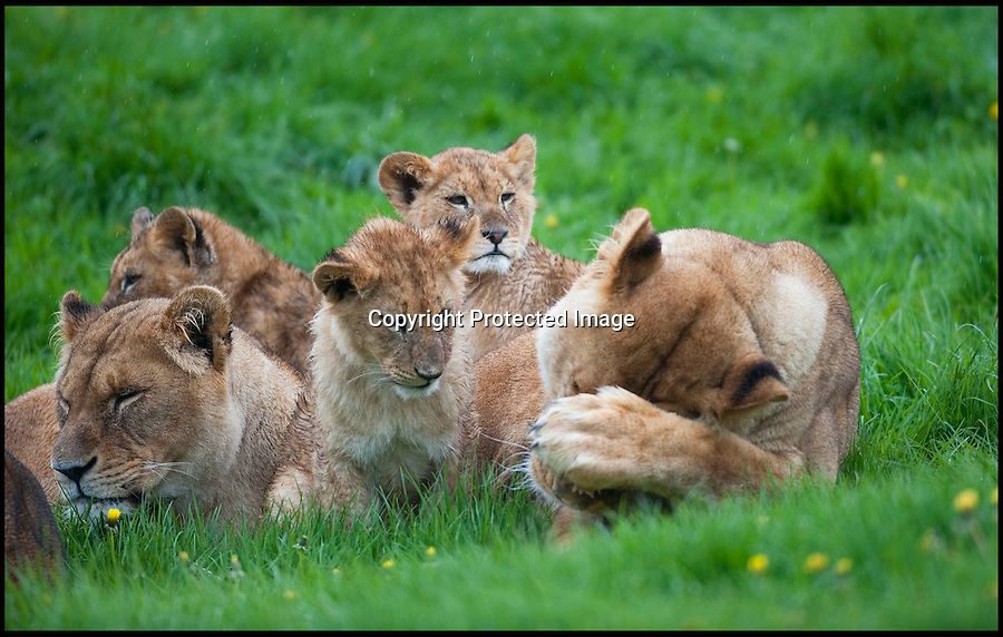 "BNPS.co.uk (01202 558833).Pic: IanTurner/BNPS..It's every parents' nightmare; trying to keep the youngsters entertained on a rainy day...And for the lionesses at Longleat it looks like summer still seems a long way off...The Wiltshire attraction, famed for its lions, is currently enjoying a big cat baby boom with no fewer than 11 cubs born in the past six months...All the prides lionesses help care for the news cubs, but with eleven to look after a bit of warmth and sunshine would make everyone's life a little easier...Longleat's Ian Turner said: ""It's been a long winter and I think we're all - lions and keepers alike - looking forward to the sun on our backs again soon.""..Forecasters are however predicting a long overdue upturn for the Bank holiday weekend."