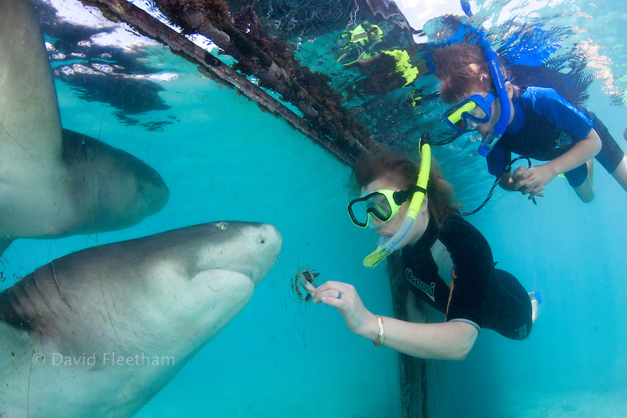 A woman and her son hand feed a lemon, shark, Negaprion, brevirostris, through a hole in plexiglass at the Sea Aquarium on the island of Curacao in the Caribbean.