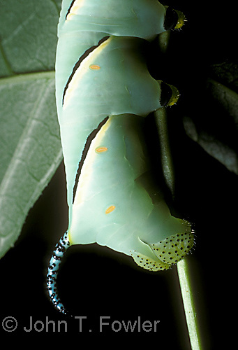 "Close up of ""horn"" on larva of Laurel Sphinx Moth, Sphinx kalmaie, showing feet, breathing spiracles, body, legs, prolegs"
