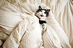 Cats.Tuxedo cat in white bed linens.  Yawning.