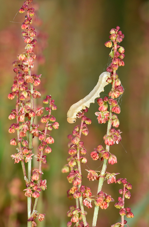 Sheep's Sorrel - Rumex acetosella with sawfly larva