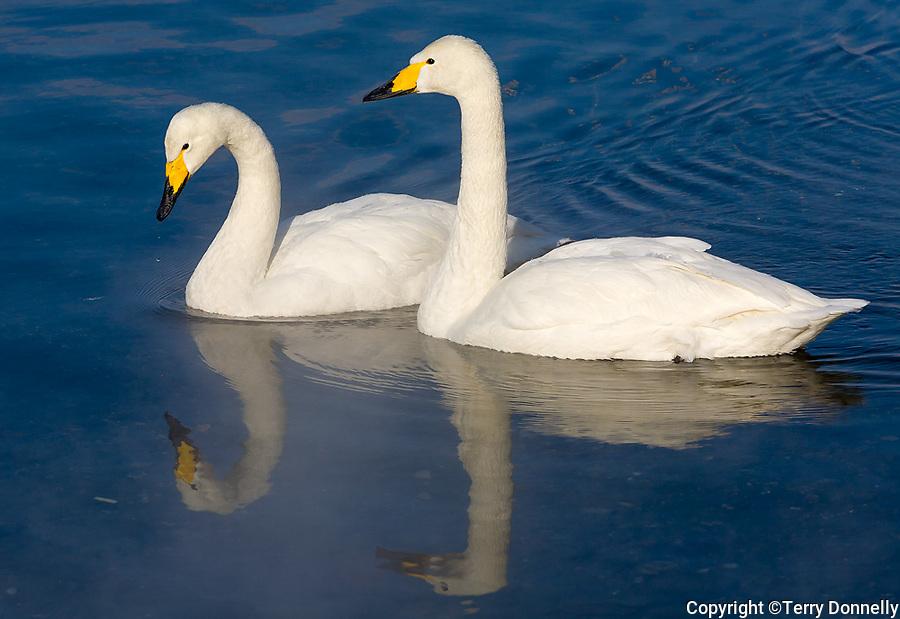 Hokkaido, Japan<br /> Pair of Whooper Swans (Cygnus cygnus) on an open section of frozen Lake Kussharo, Akan National Park