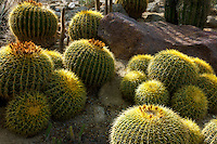 Golden Barrel Cactus. The Living Desert. Palm Desert, California
