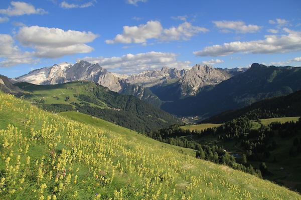 Flowers at Passo Pordoi, Mt Marmelada behind, Canazei, Italy.